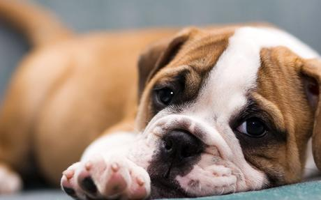 BullDog_Puppy3_by_VictoriaR.jpg